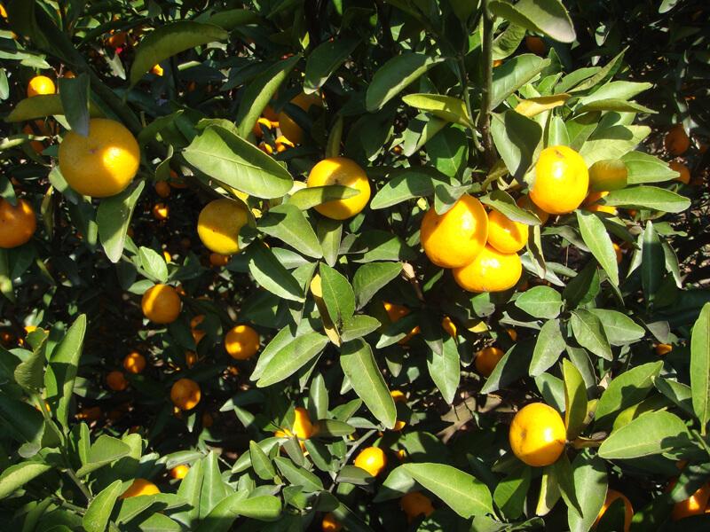 baby mandarin on the tree